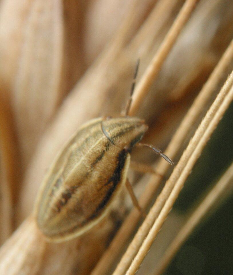 Aelia-acuminata-3641.jpg