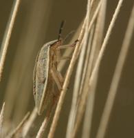 Aelia acuminata, nymph · smailiagalvė skydblakė, nimfa