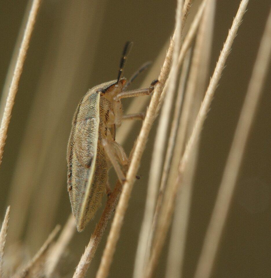 Aelia-acuminata-3643.jpg