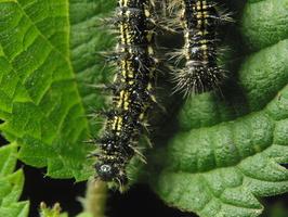 Aglais urticae caterpillar · dilgėlinukas, vikšras