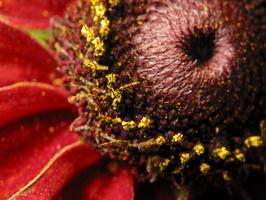 Rudbeckia hirta · plaukuotoji rudbekija