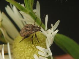 Stictopleurus punctatonervosus nymph · ryškiapilvė kampuotblakė, nimfa