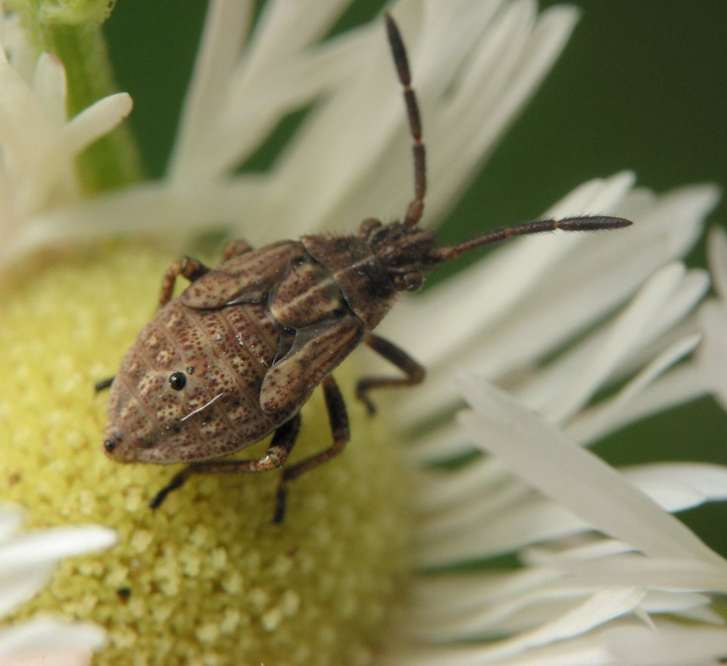 Stictopleurus-punctatonervosus-3657.jpg
