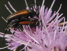 Stenurella melanura mating · juodasiūlis grakštenis poruojasi