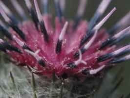 Arctium tomentosum · paprastoji varnalėša