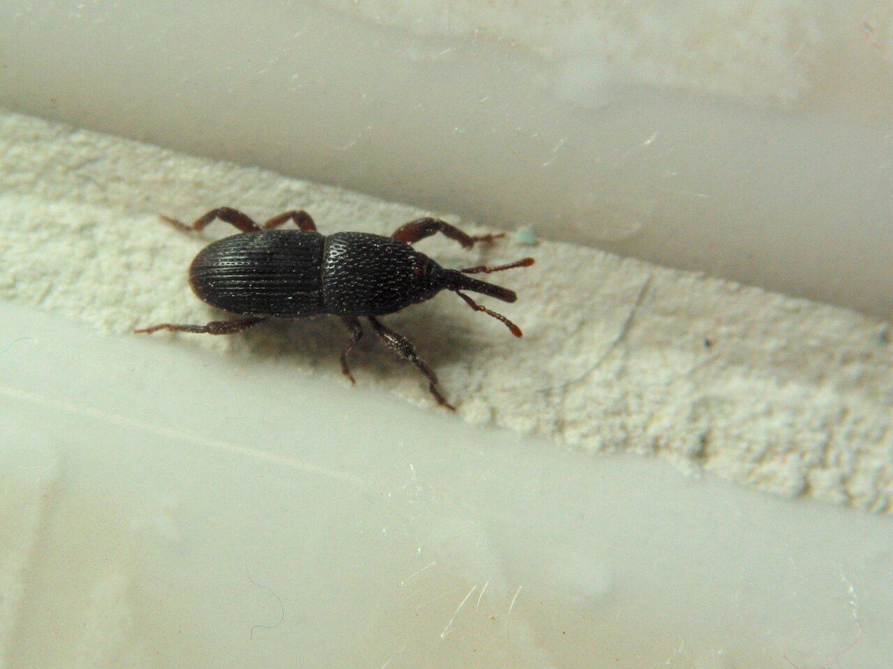 Curculionidae-3998.jpg