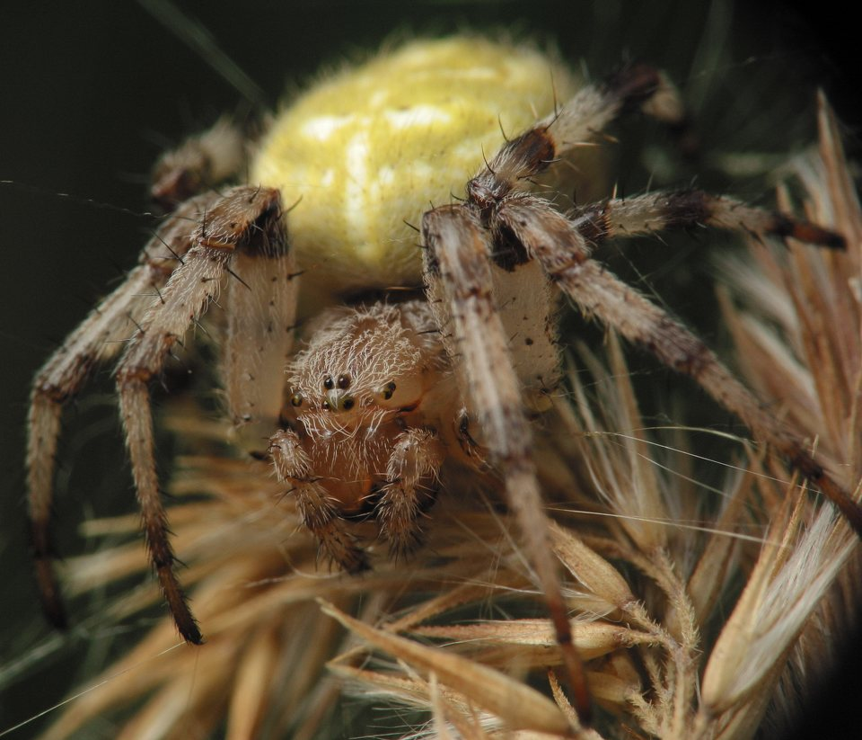 Araneus-quadratus-4031.jpg