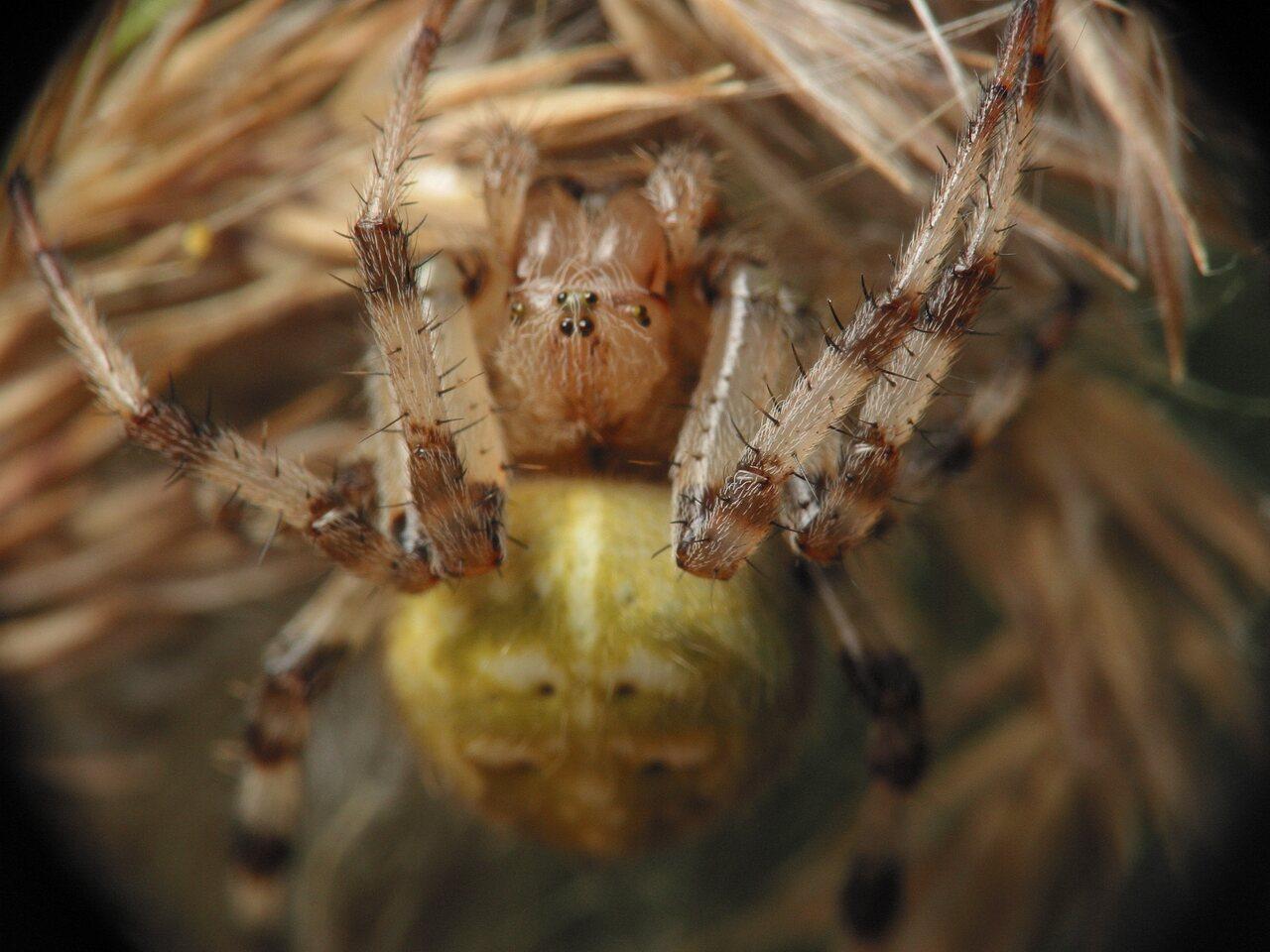 Araneus-quadratus-4033.jpg