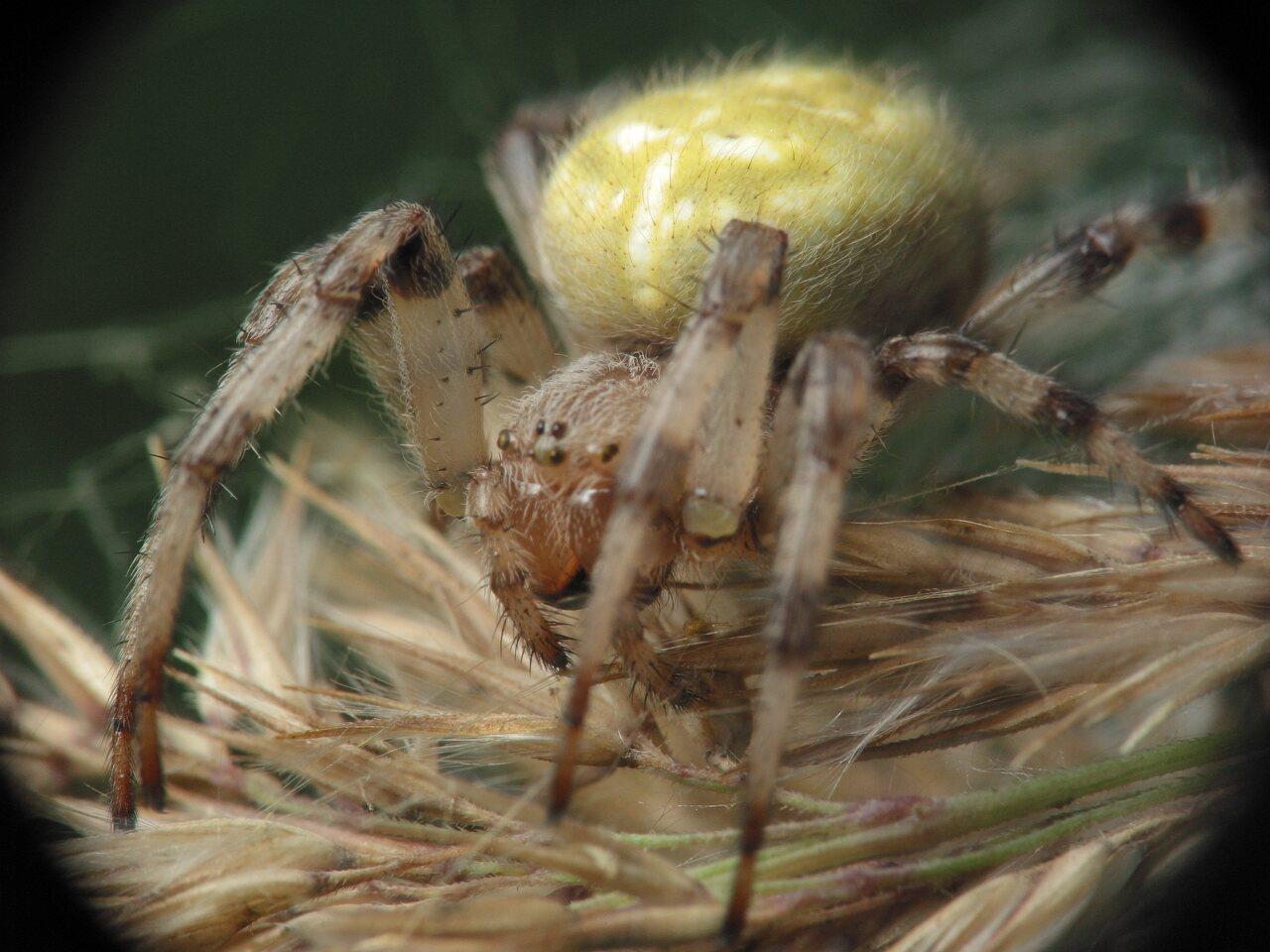 Araneus-quadratus-4035.jpg
