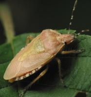 Dolycoris baccarum · uoginė skydblakė
