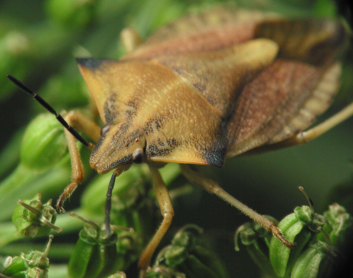 Carpocoris-fuscispinus-4047.jpg
