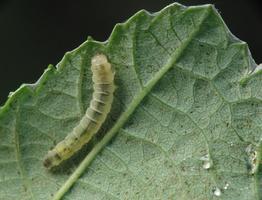 larva 4050
