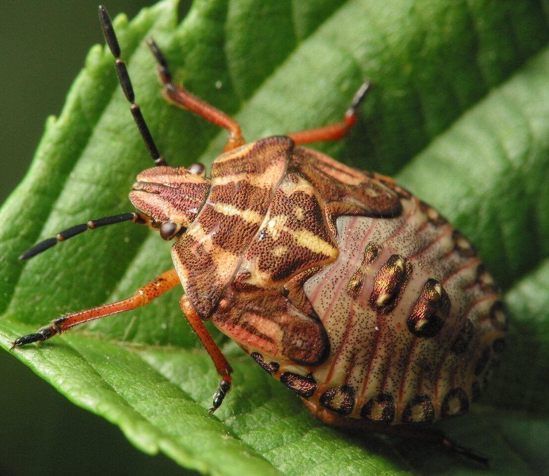 Carpocoris-pudicus-4053.jpg