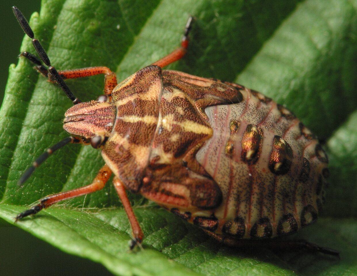 Carpocoris-pudicus-4055.jpg
