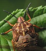 Carpocoris pudicus nymph · paprastoji skydblakė, nimfa