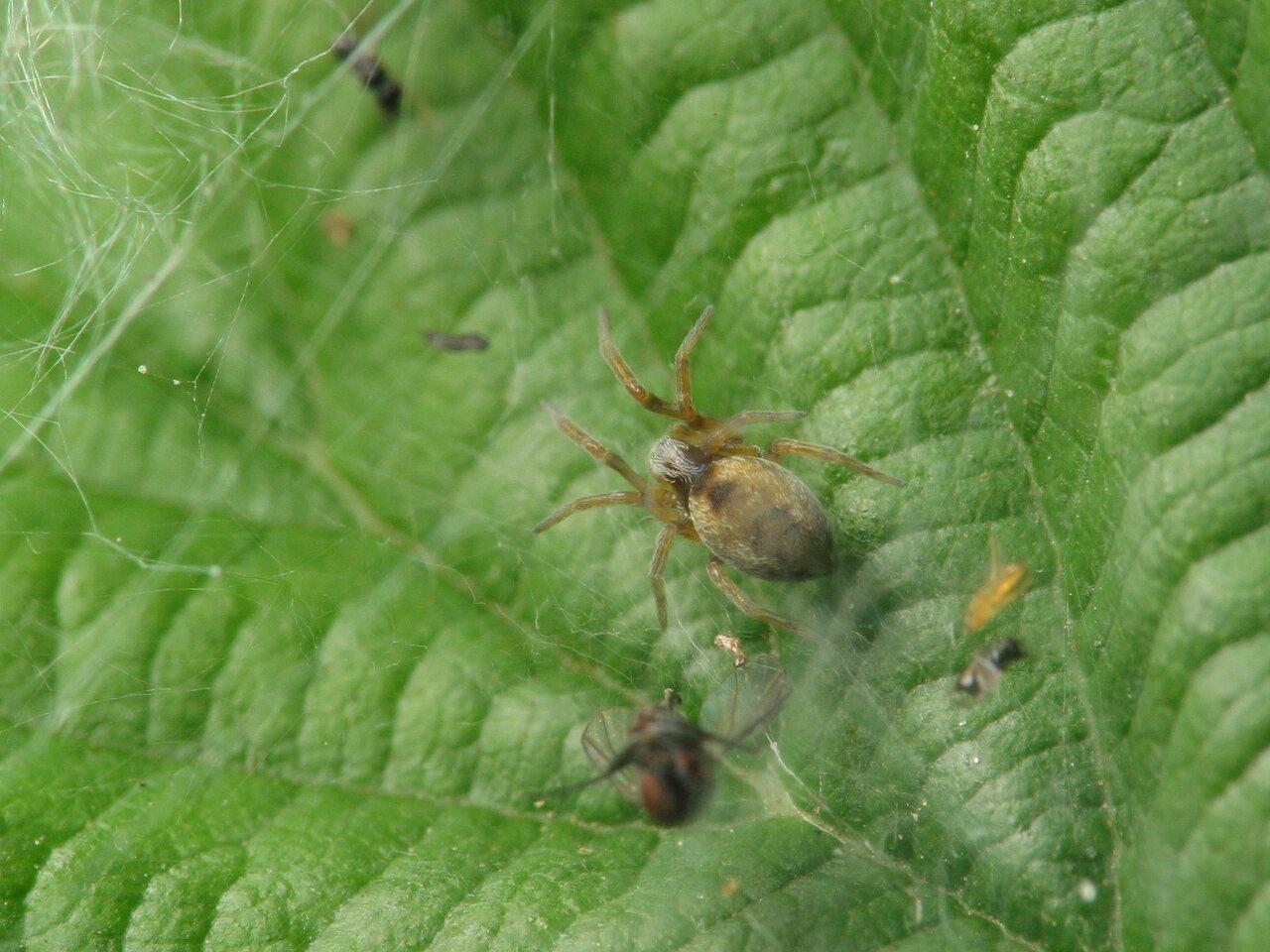 Dictynidae-4063.jpg
