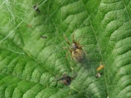 Dictynidae · raizguoliai