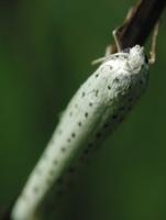 Yponomeuta evonymella · ievinė kandis