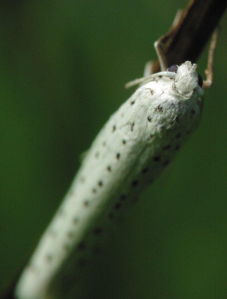 Yponomeuta-evonymella-4065.jpg