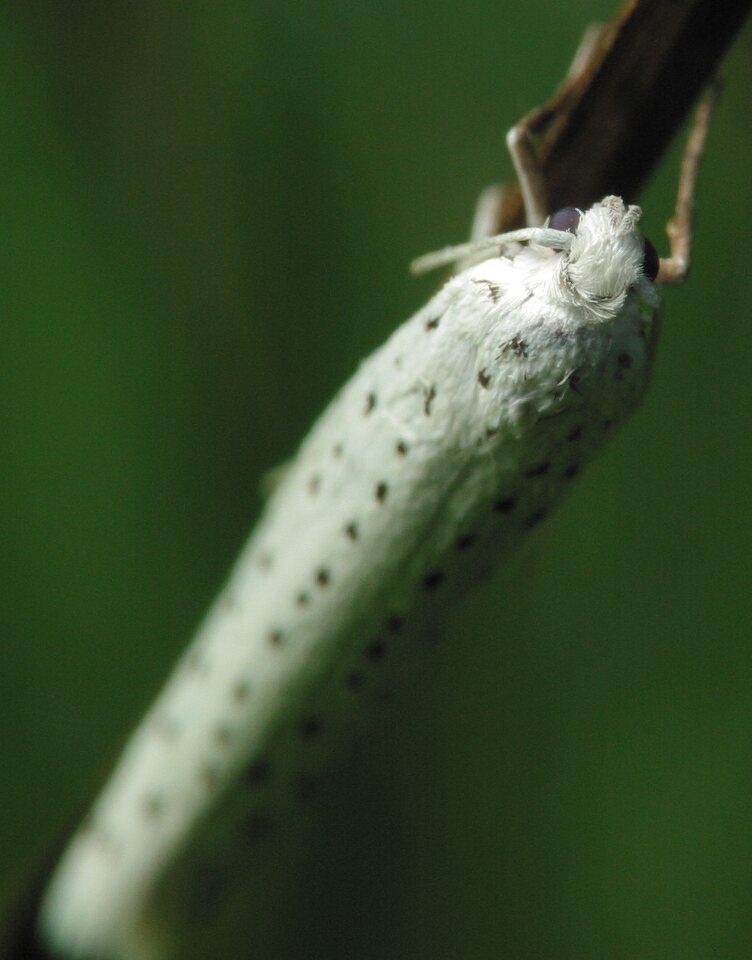 Yponomeuta-evonymella-4066.jpg