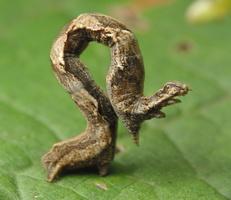 Timandra comae caterpillar · smailiasparnis pilkasis sprindžiukas, vikšras