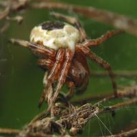 Araneus marmoreus female · marmurinis kryžiuotis ♀