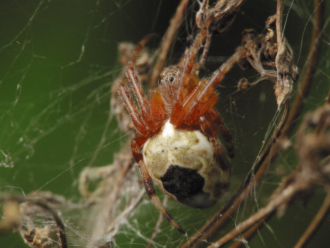 Araneus-marmoreus-4106.jpg