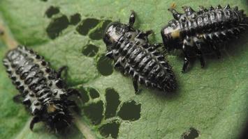 Chrysomela tremulae larvae · drebulinis gluosninukas, lervos