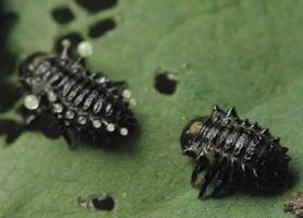 Chrysomela tremulae larva larvae chemical defence · drebulinis gluosninukas, lervų cheminiai ginklai