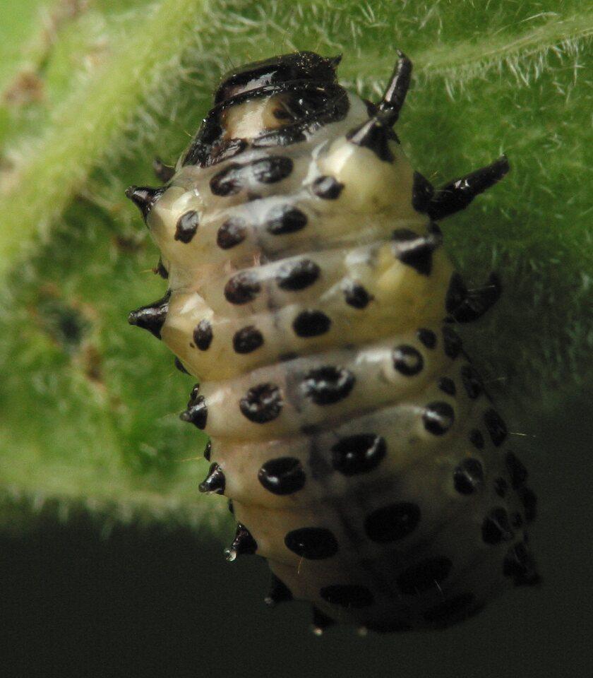 Chrysomelidae-larvae-4115.jpg