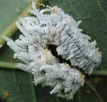 Eriocampa ovata larva · pjūklelis, lerva 4121