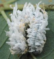 Eriocampa ovata larva · pjūklelis, lerva 4122