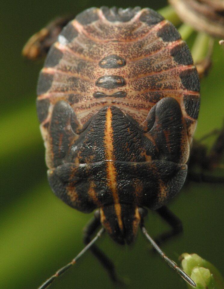 Graphosoma-lineatum-4126.jpg