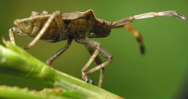 Heteroptera · blakė 4141