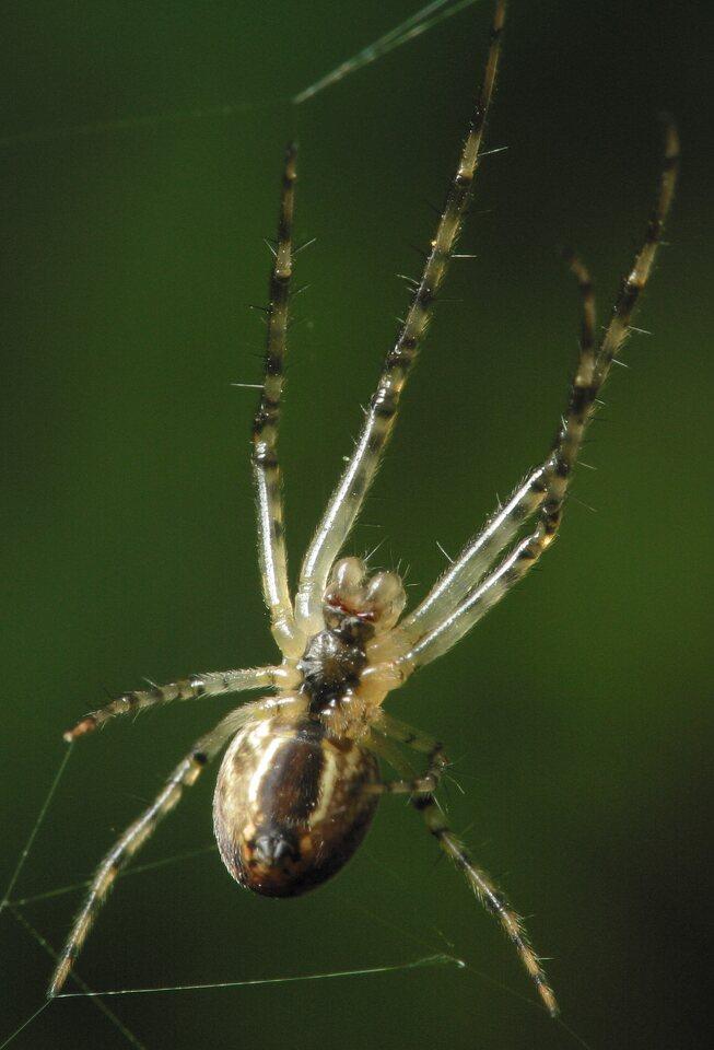 Tetragnathidae-4156.jpg