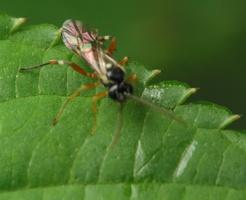 Hymenoptera 4161