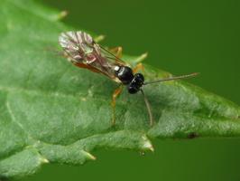 Hymenoptera 4164