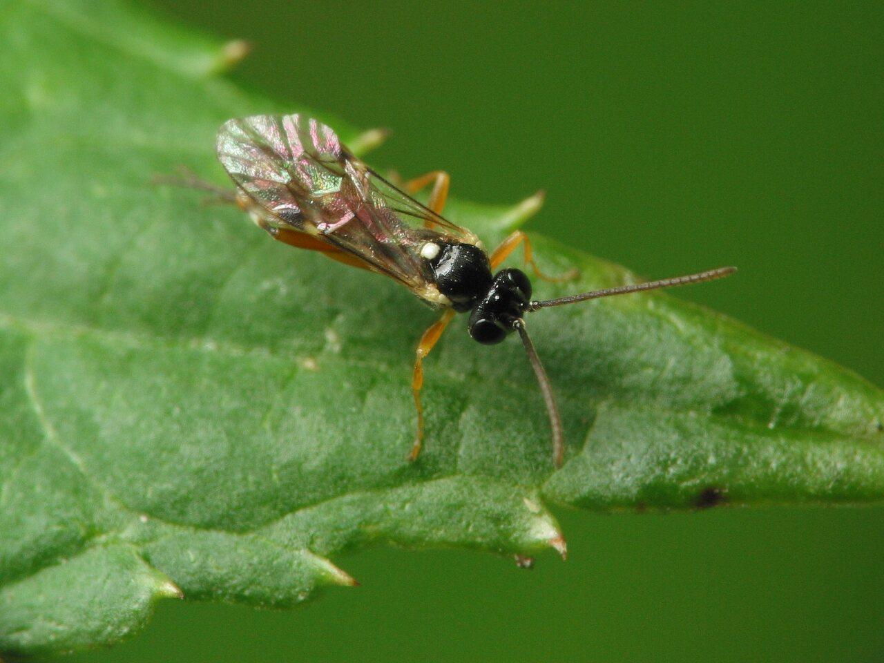 Hymenoptera-4164.jpg