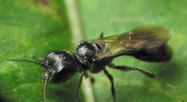 Hymenoptera 4184