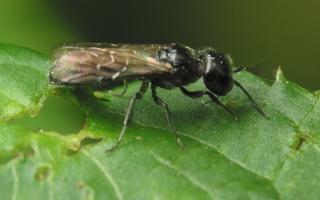 Hymenoptera 4185