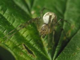 Araneae · voras