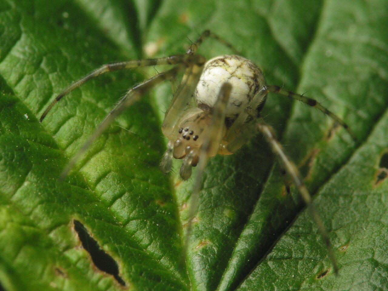 Araneae-4193.jpg