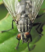 Diptera 4196