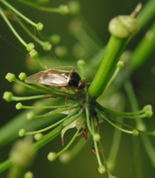 Heteroptera · blakė 4197