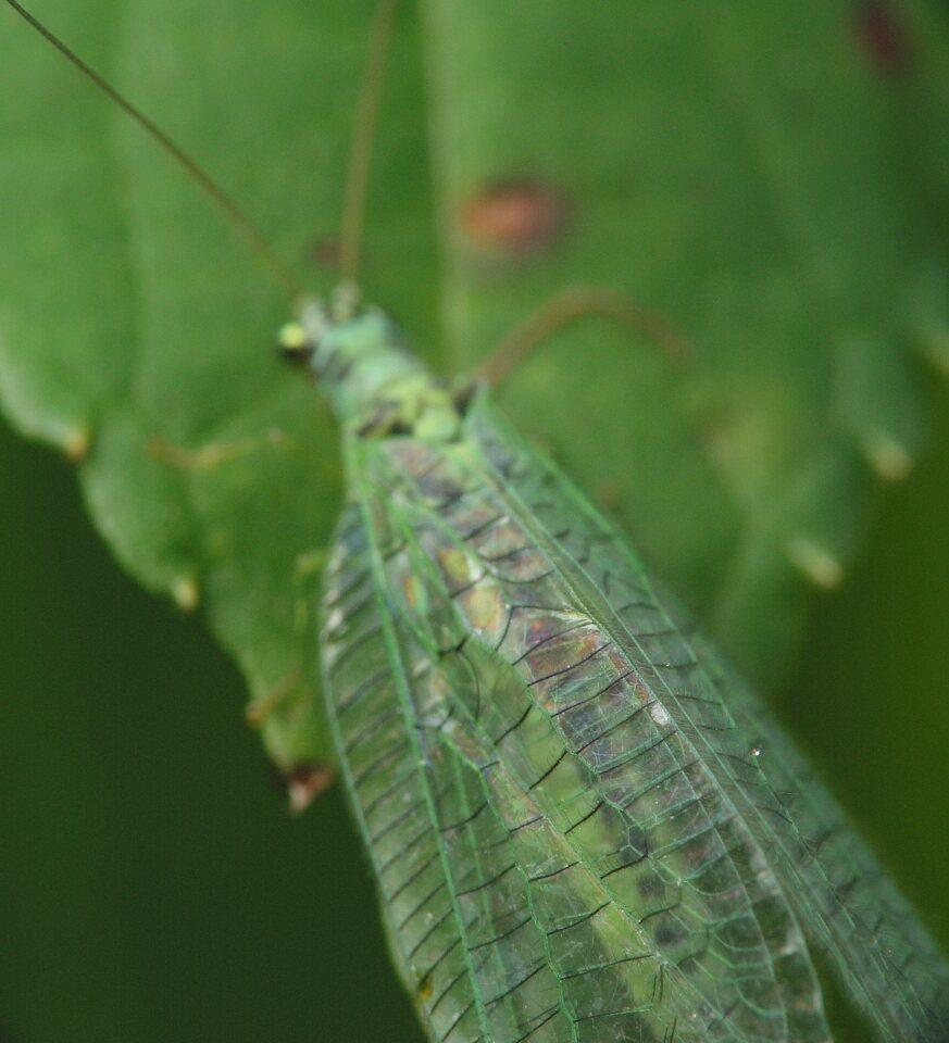 Chrysopidae-4201.jpg