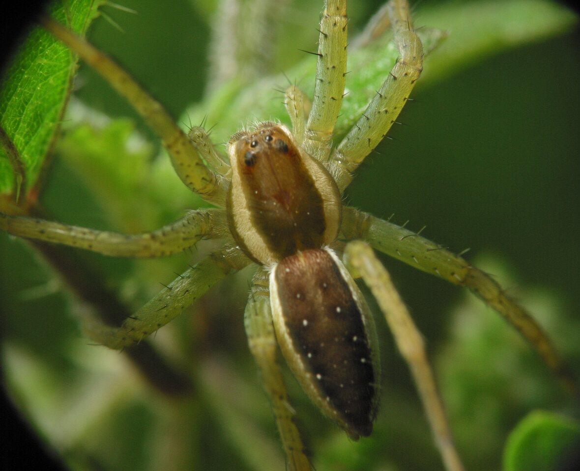 Dolomedes-fimbriatus-4200.jpg