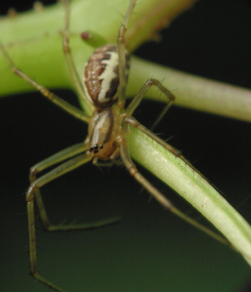 Araneae-4203.jpg