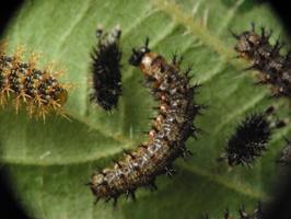 Aglais urticae, young larvae · dilgėlinukas, jauni vikšrai