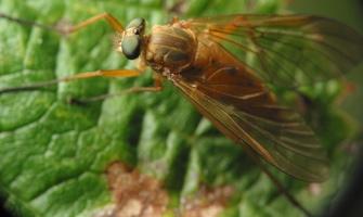 Rhagionidae · slankmusė