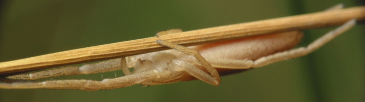 Tibellus oblongus female · ilgapilvis laibavoris ♀